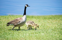 Canada Goose And Her Goslings On The Grass
