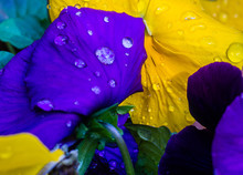 Close Up Of Purple And Yellow ...