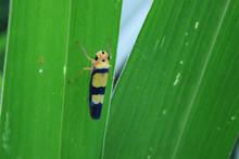 A Blue And Yellow Bug - Grapho...