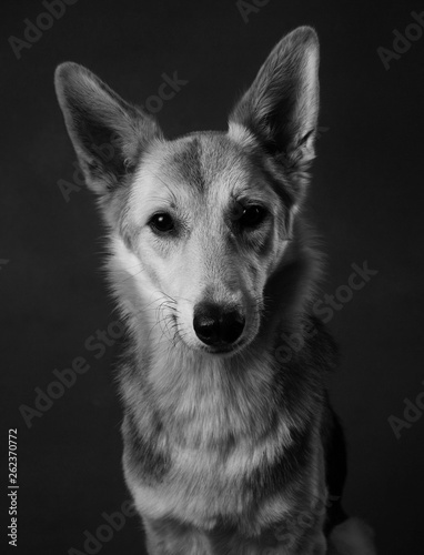 Gray and white mongrel dog sitting in studio on brown blackground and looking at Fototapete