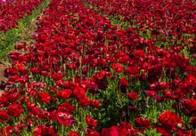 The Flower Fields At Crlsbad