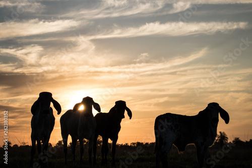 Foto op Canvas Hert Sunset and a hert of cows
