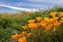 Bright Orange California Poppies In Green Field Under Blue Sky