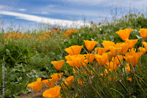 Fotografia, Obraz Bright Orange California Poppies in Green Field under Blue Sky