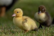 Cute Baby Muscovy Ducklings In A Grassy Field