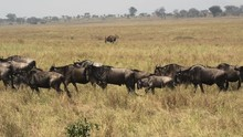 Wildebeests Migrating In A Long Queue With An Eland Standing In The Background In Tanzania Africa Savanna