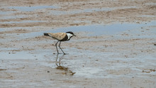 Spur Winged Plover At Lake Bogoria In Kenya