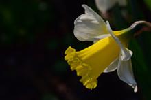 Nahaufnahme Einer Gelben Narzisse Im Frühling