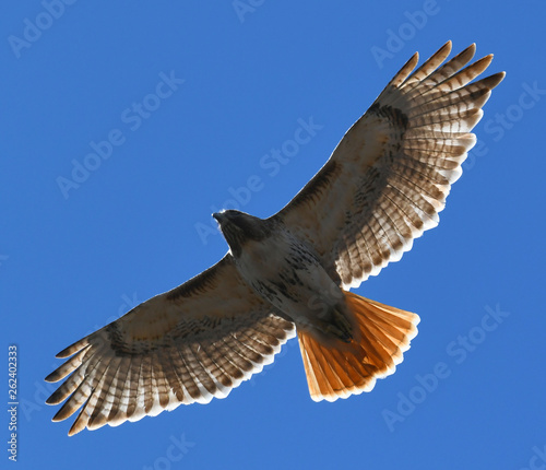 red tailed hawk flying in the blue sky Wallpaper Mural