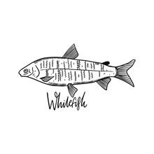 Whitefish. Hand Drawn Vector I...