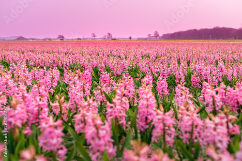 Photo Stands Candy pink Endless field of pink flowers