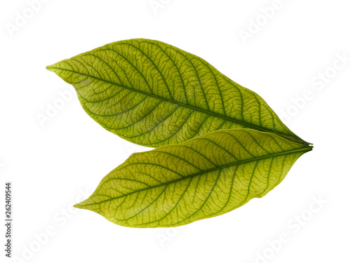 Leaf with white background Wallpaper Mural