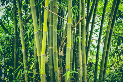 Poster Bamboe Fresh bamboo tree in the jungle bamboo forest