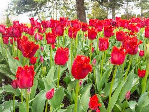 Photo  Skagit Valley Tulip Fields