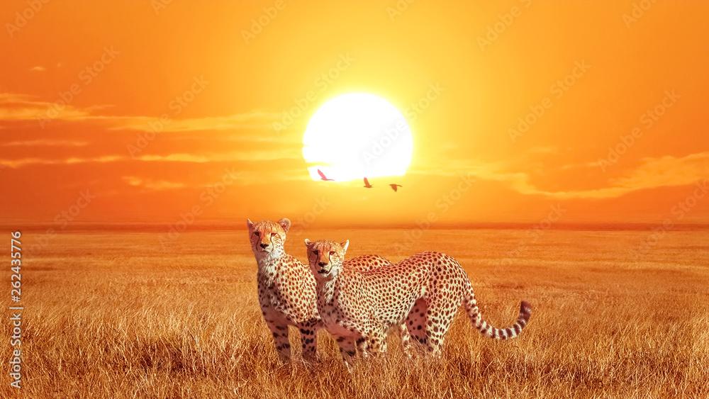 Fototapeta Group of cheetahs at beautiful orange sunset in the Serengeti National Park. Tanzania. Wild nature of Africa. Artistic african image.