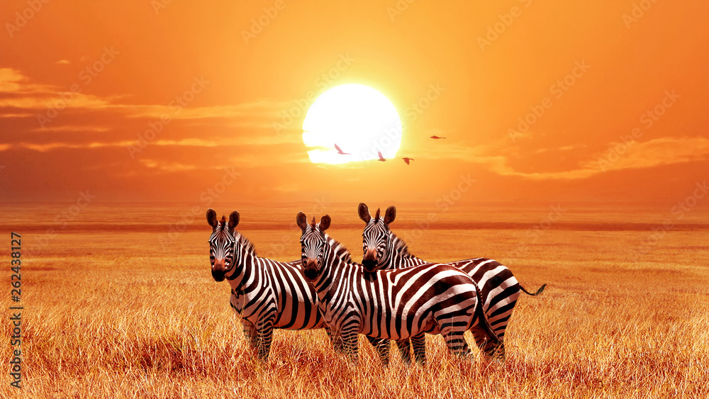 Fototapeta African zebras at beautiful orange sunset in the Serengeti National Park. Tanzania. Wild nature of Africa.