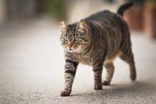 Tabby Feral Cat With Notched Ear Walking Along Sidewalk