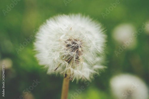 Photo  Close up of a Dandelion (Taraxacum officinale) with soft green background