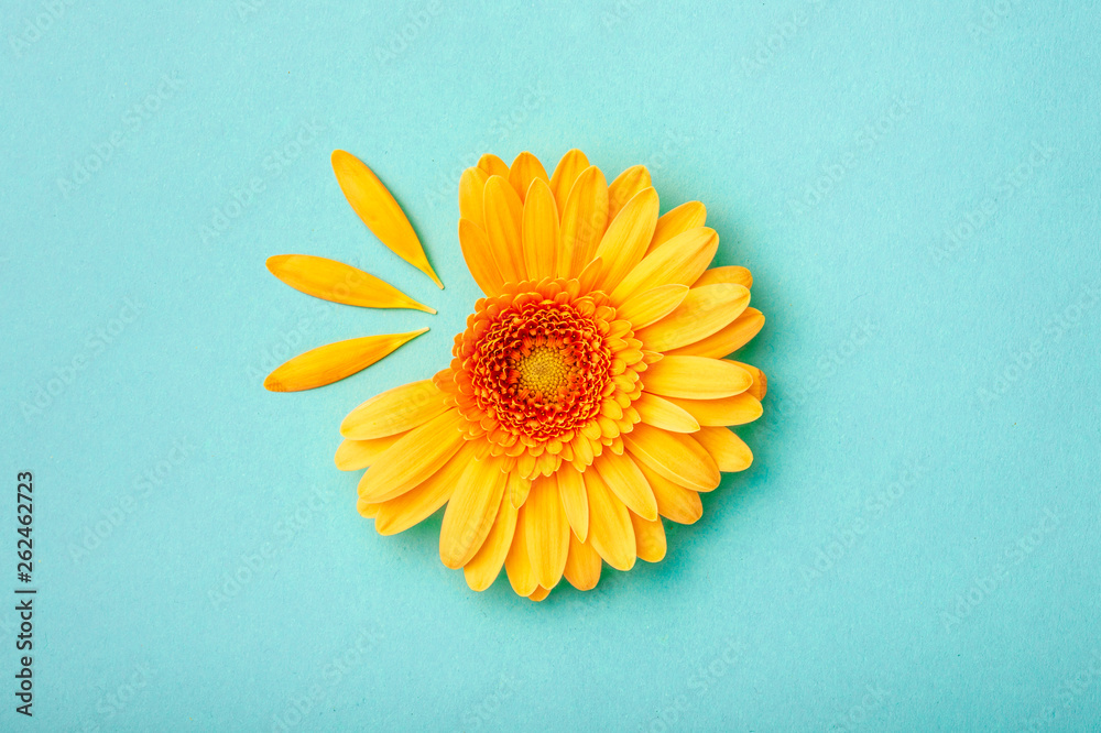 Fototapeta Petal taken gerbera daisy on blue background