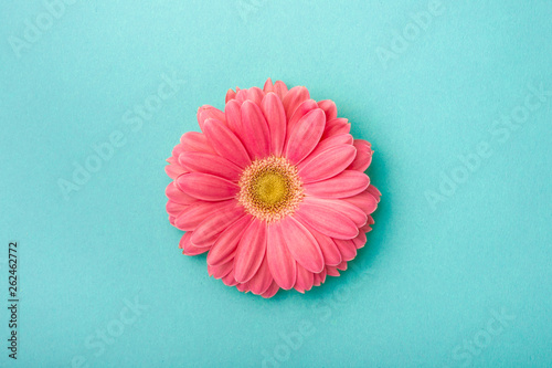 Gerbera daisy on blue background