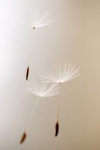 Dandelion Seeds Waiting To Be ...