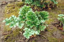 Heracleum Mantegazzianum Plant...
