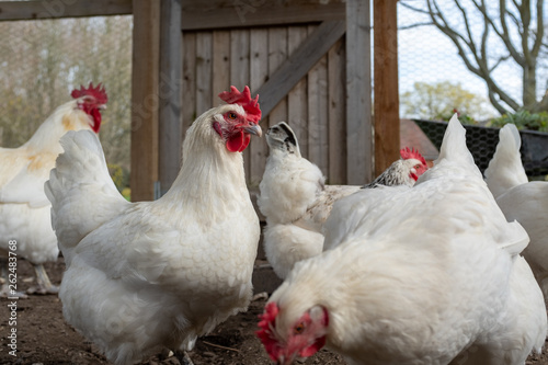 Cuadros en Lienzo Close up of a several white Bresse chickens inside a chicken coup, with their br