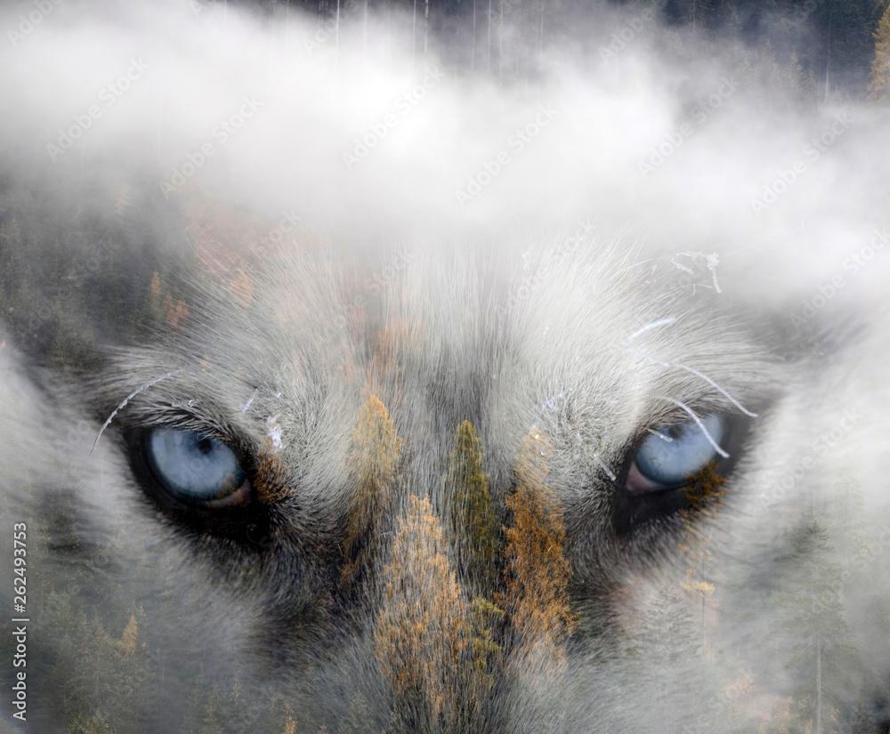 Obraz podwójnej ekspozycji psa husky syberyjskiego i śnieżnego lasu sosnowego. <span>plik: #262493753 | autor: erika8213</span>