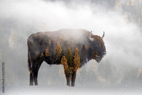 Fotobehang Bison Double exposure of a wild bison, buffalo and a pine forest