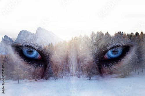 Double exposure image of a Siberian husky dog and a snowy pine forest.