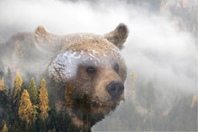 Double Exposure Of A Wild Brown Bear And A Pine Forest