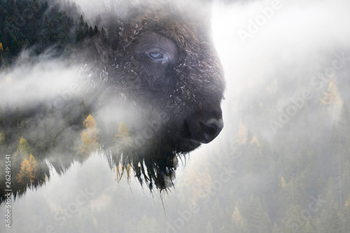 Fotografia Nature photograph of buffalo and pine forest