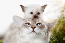 Kitten At Mom's Cat On The Head. Kitten Playing Hide And Seek With Dad. Cute Funny Photo About Pets.