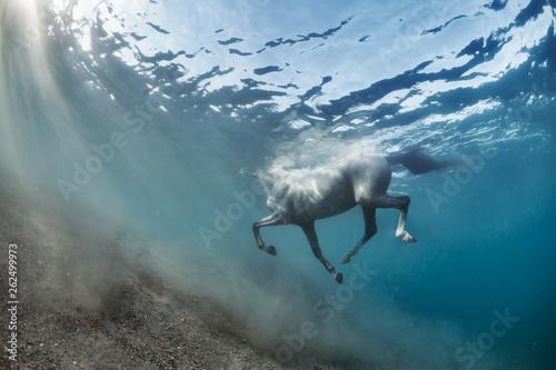 Fototapeta White grey horse swimming underwater view