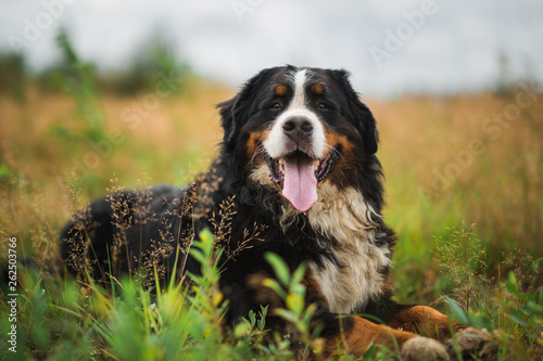 Photo Bernese mountain dog in the summer meadow