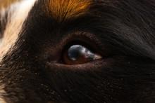 Close Up Of Dog Eye, Bernese Mountain Dog .