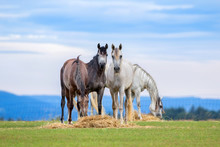Young Horses Eating Hay On Pasture In Summer
