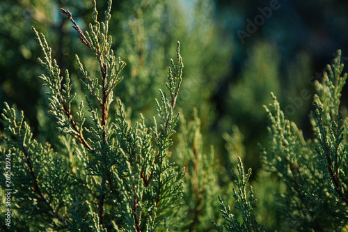 Green background. Cypress Branches Fotobehang