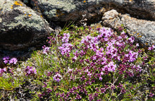 The Shore Of Lake Baikal In Summer. Blooming Spicy Thyme On The Coastal Cliffs Of Olkhon Island (Lat.Thymus Serpyllum)