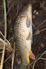 The Common Carp Or European Ca...