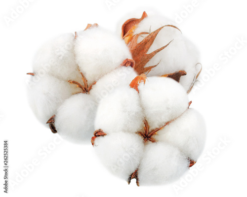 Cotton plant flowers without shadows isolated on white background © Tetiana