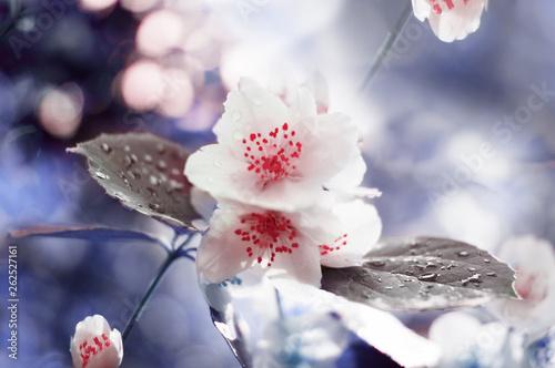 Blossom jasmine tree over nature background/ Spring flowers/Spring Background Canvas Print