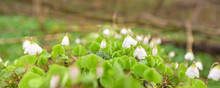 Blooming Wood Sorrel On A Glade In The Forest. Latin Name Oxalis Acetosella