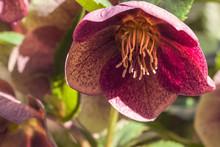 Pinke Blume Mit Großem Stempel In Der Sonne