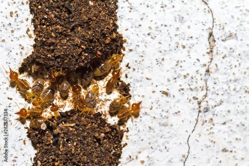 Fotografija  Close up termites or white ants destroyed on white concrete