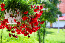 Red Flowers In A Pot Against The Background Of Green Grass