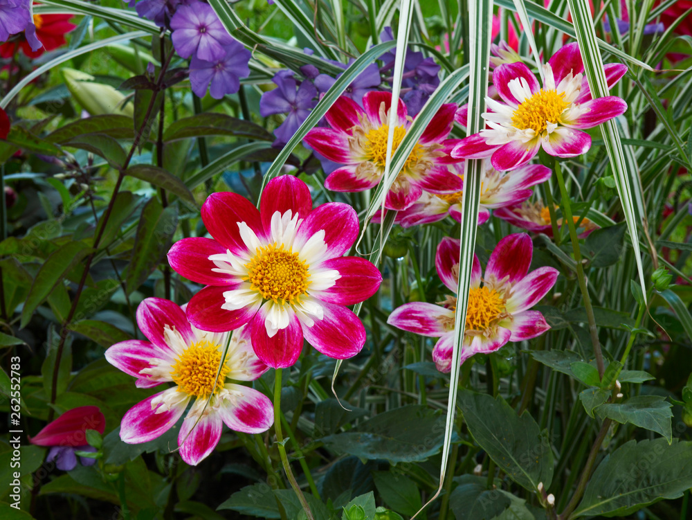 Colourful Dahlias in flower border