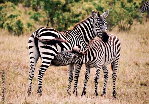 Baby zebra feeding off mother
