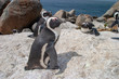 canvas print picture - pinguins bolder beach cape town parks and reserves of south africa