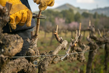Female Hands Pruning Vines Wit...